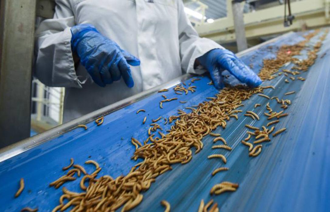 Производство корма для животных из насекомых