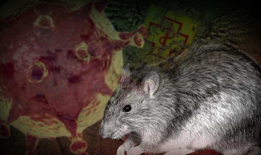 Крысы и коронавирус